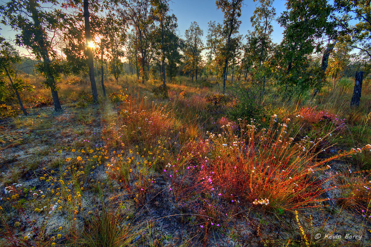 autumn wildflowers at sunrise, Apalachicola Bluffs and Ravines Preserve, Bristol, Florida, photo