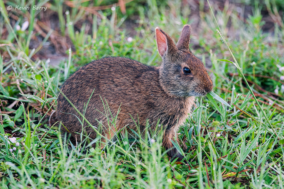 Marsh Rabbit, Wakodahatchee Wetlands, Boynton Beach, Florida, photo
