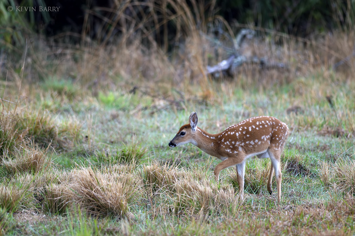 White-tail deer fawn, Dinner Island Ranch Wildlife Management Area, Florida, photo