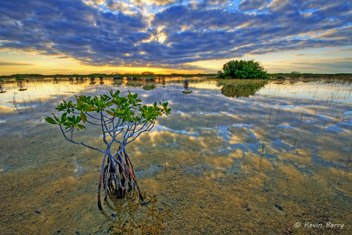 Red Mangroves at Sunrise, Everglades National Park, Florida