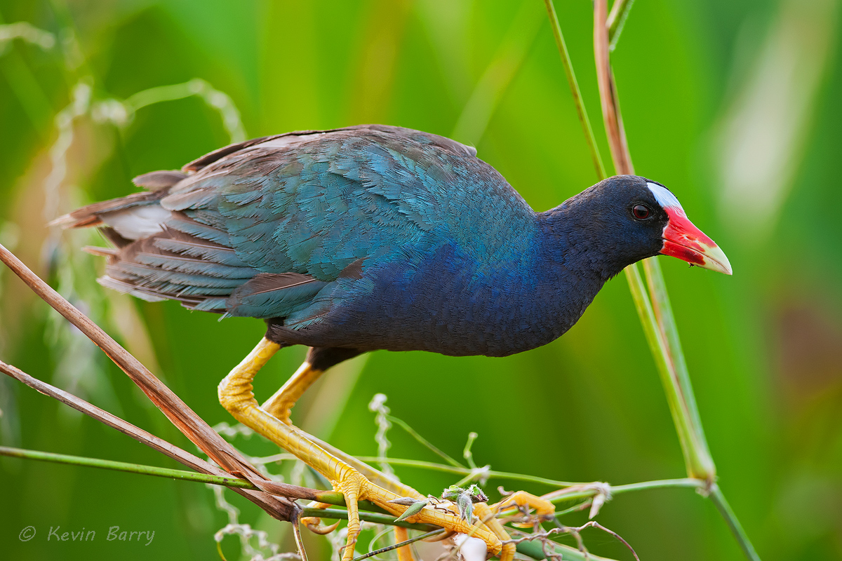 The Purple Gallinule (Porphyrio martinicus) is a swamphen in the rail family, Rallidae. The species inhabits warm swamps and...