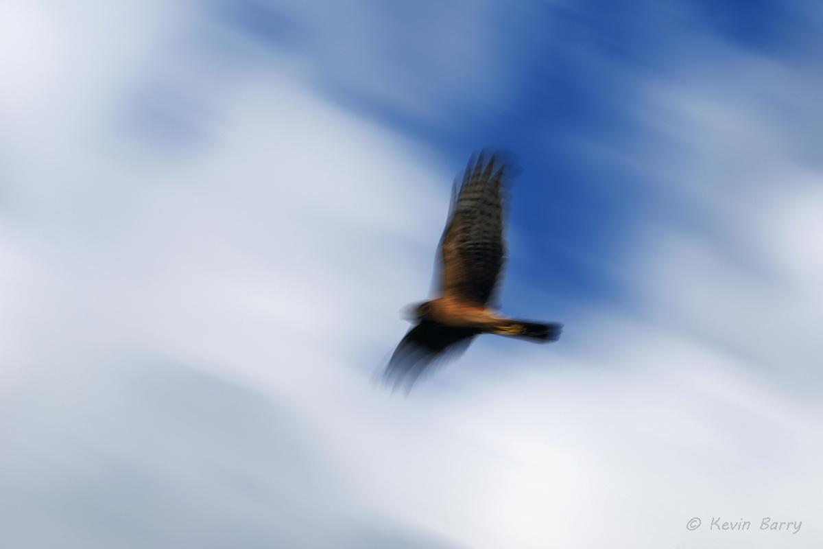 The Northern Harrier (Circus cyaneus) is a slender, medium-sized raptor with long, fairly broad wings and a long, rounded tail...