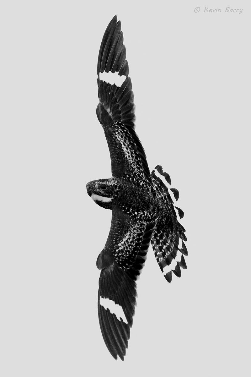 The Common Nighthawk (Chordeiles minor) is a medium sized noctunal bird within the nightjar family. It flies erratically while...