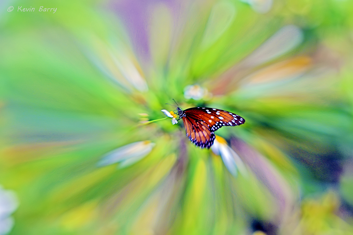 A Soldier butterfly nectars on wildflowers in Florida's everglades.