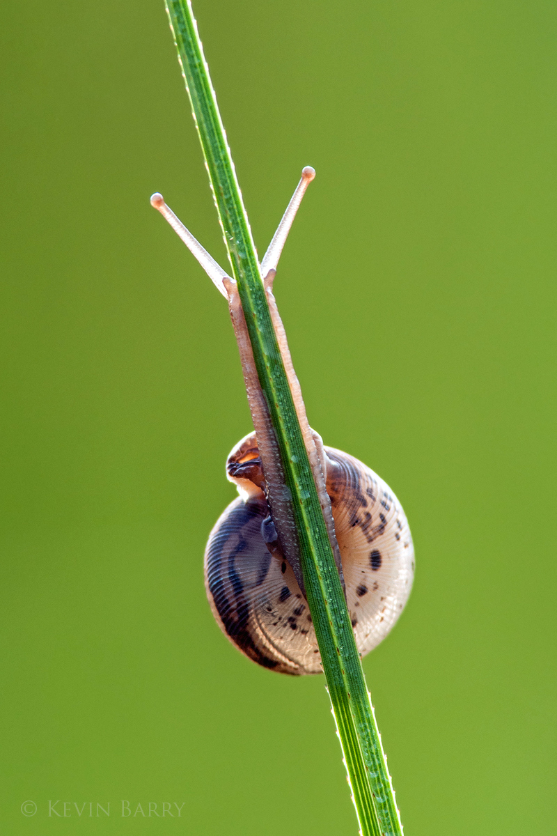 snail at sunrise, Big Cypress National Preserve, Florida, small, climbing, grass, morning, south, southern, vertical, everglades...