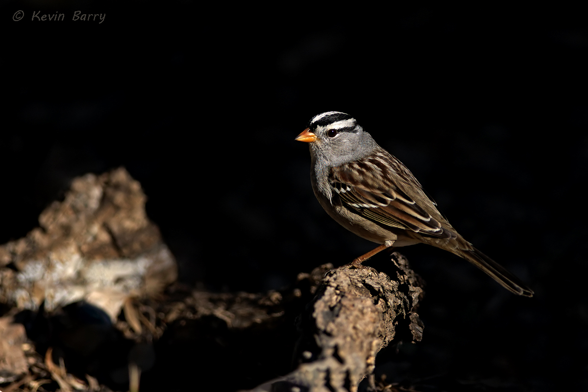 The White-crowned Sparrow(Zonotrichia leucopphrys) is a medium sized sparrow native to North America.