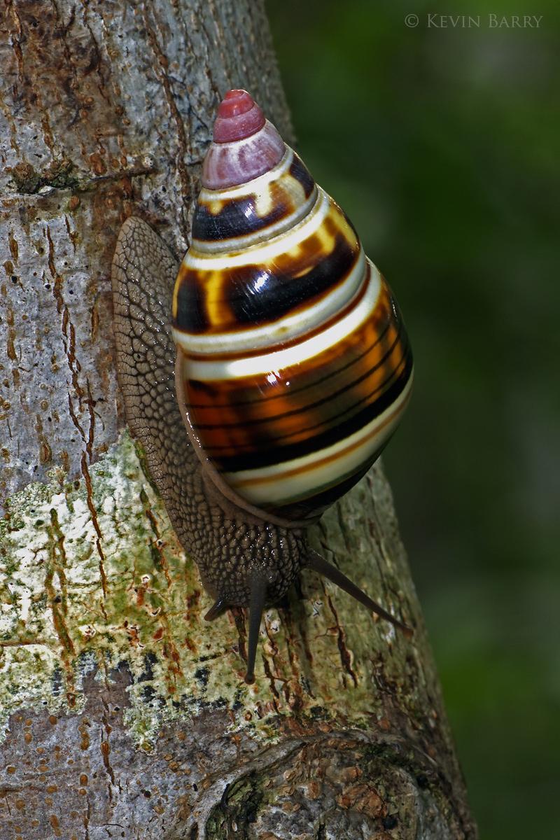 (Liguus fasciatus)