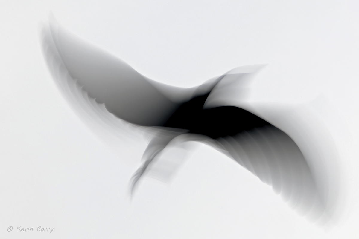 (Egretta caerulea)