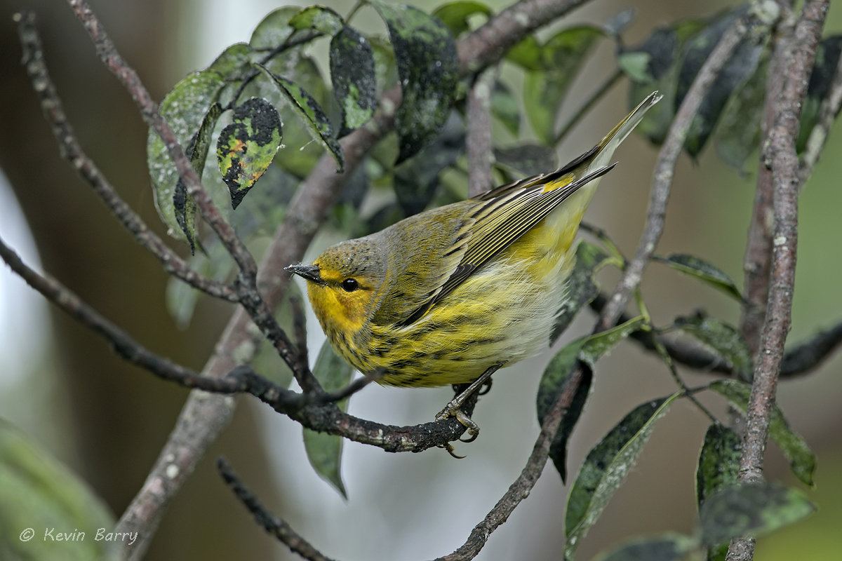 The Cape May Warbler (Setophaga tigrina) breeds across the arboreal forests of Canada and the northern United States. The species...
