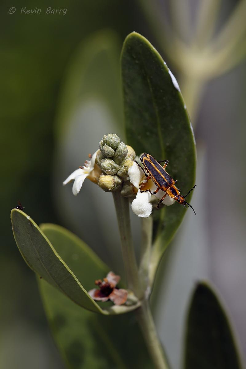 (Chauliognathus marginatus)
