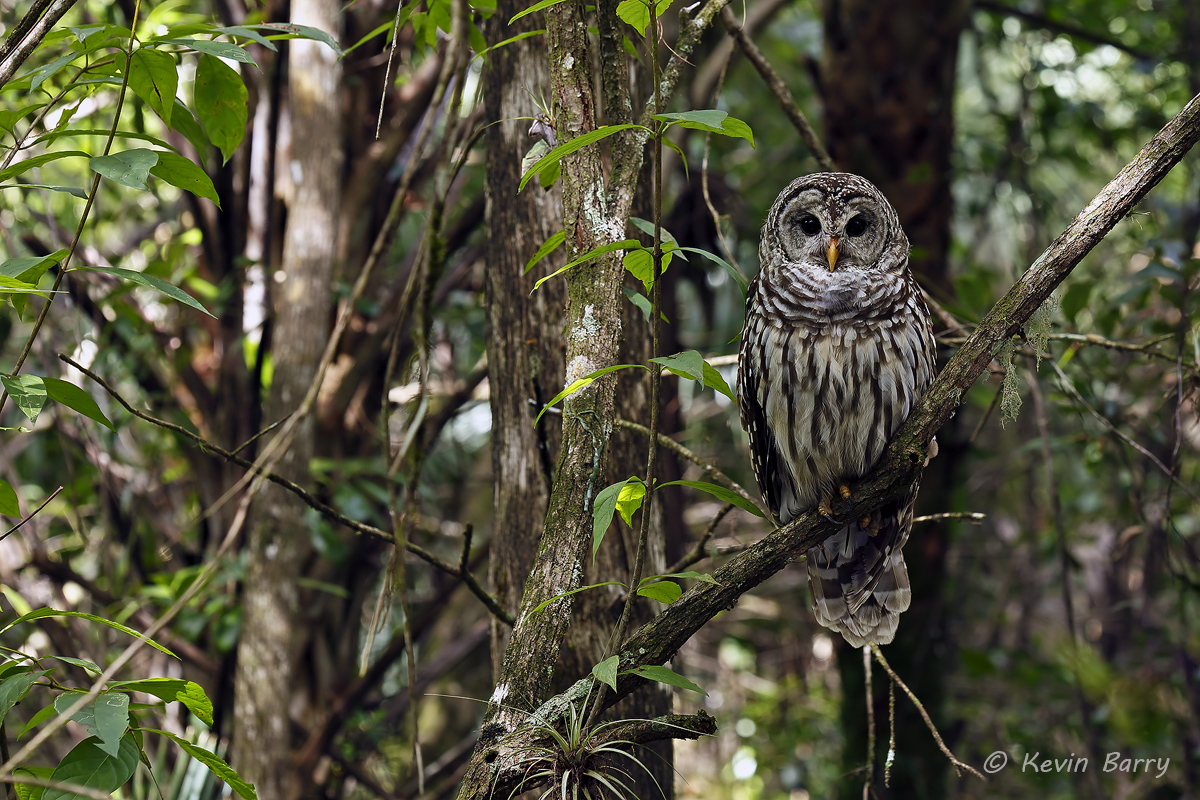 Barred Owl, Fakahatchee Strand Preserve State Park, Collier County, Florida, photo