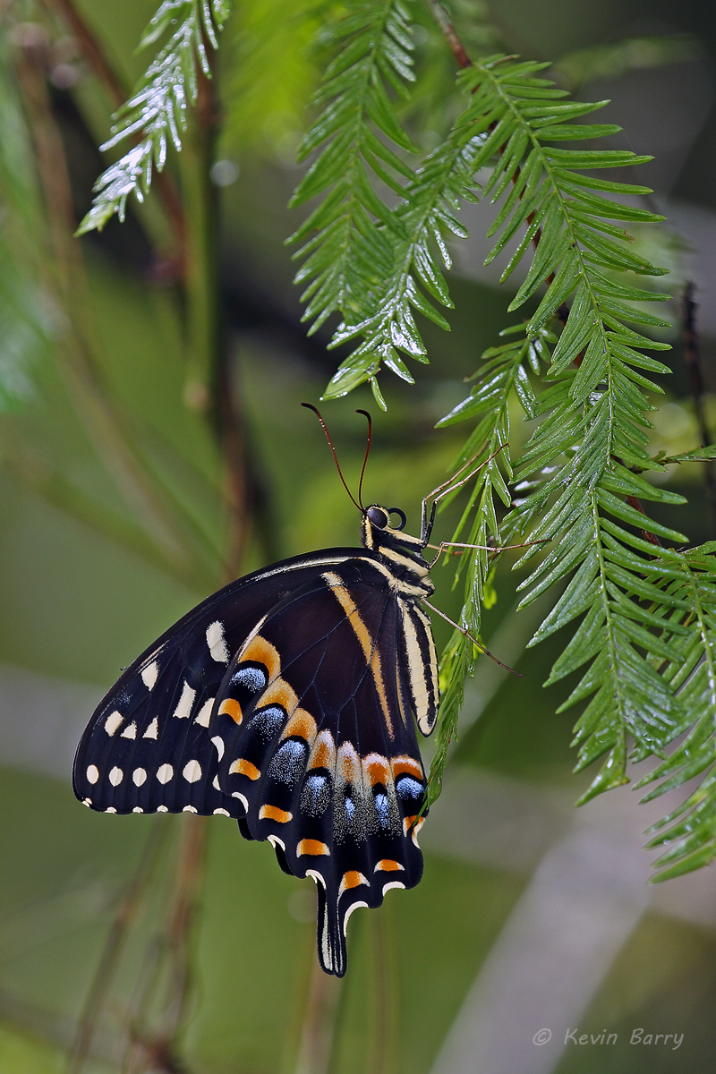 Palamedes Swallowtail, Fakahatchee Strand Preserve State Park, Collier County, Florida, photo