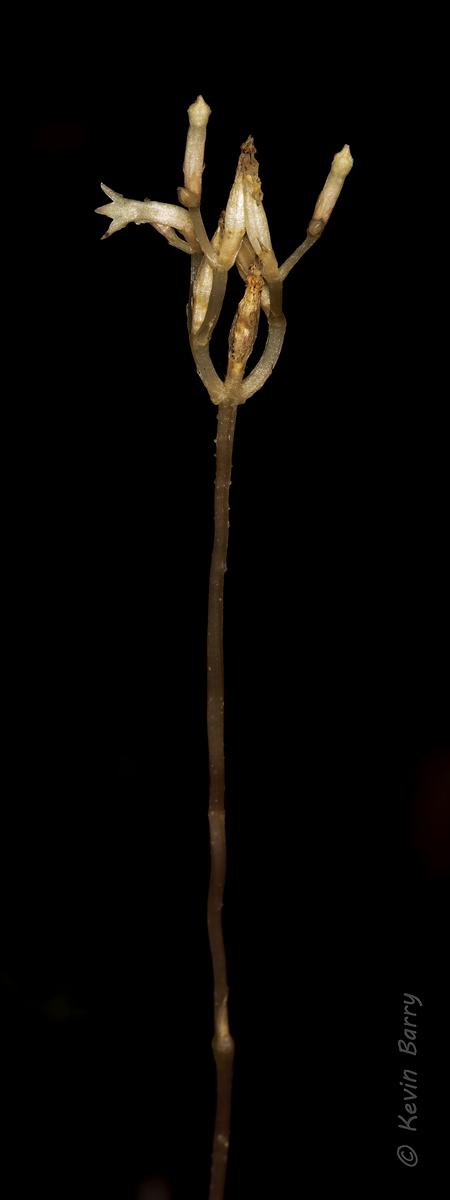 (Voyria parasitica)