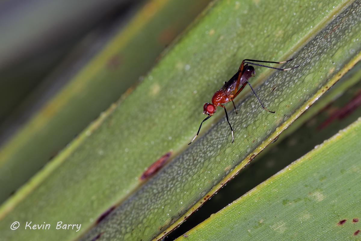 (Family Micropezidae)