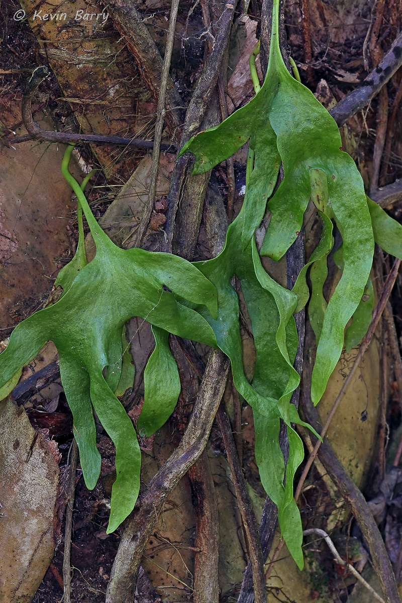 The Hand Fern (Ophioglossum palmatum) is native to Florida, Mexico, West Indies, Central and South America, Viet Nam, Madagascar...