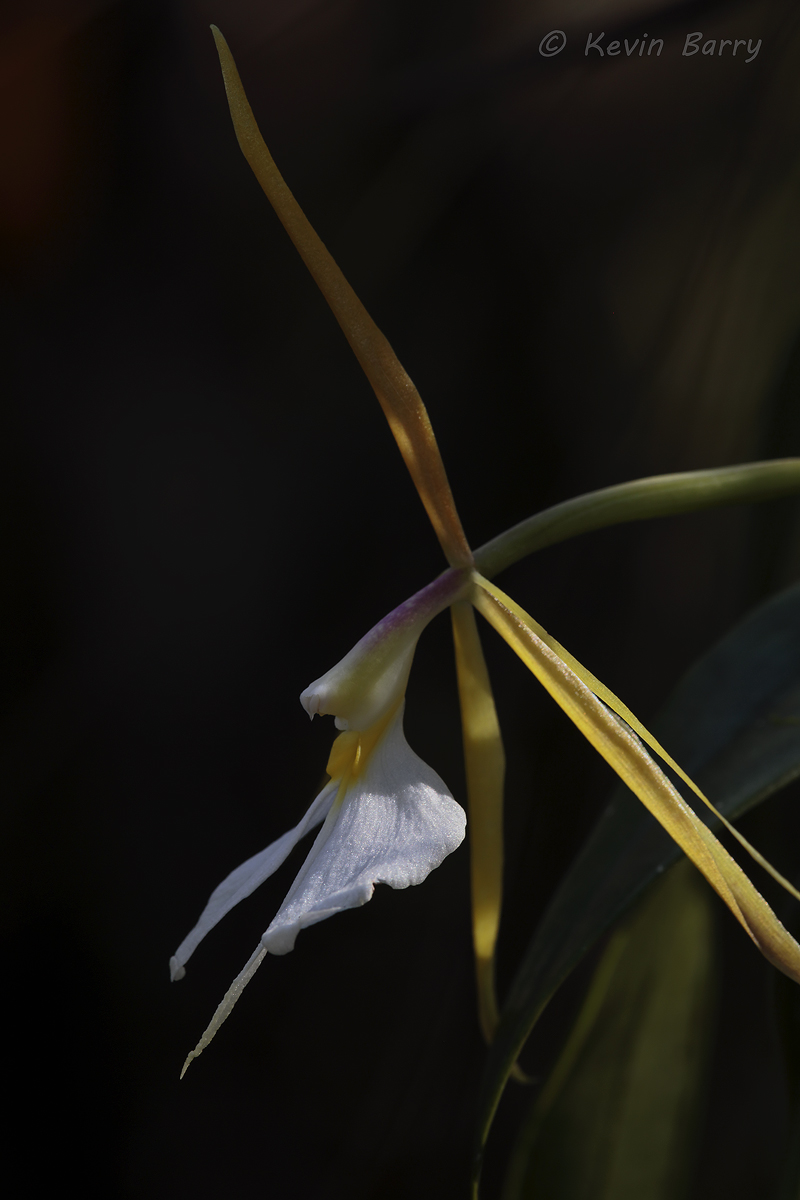 (Epidendrum nocturnum) State-listed Endangered Species