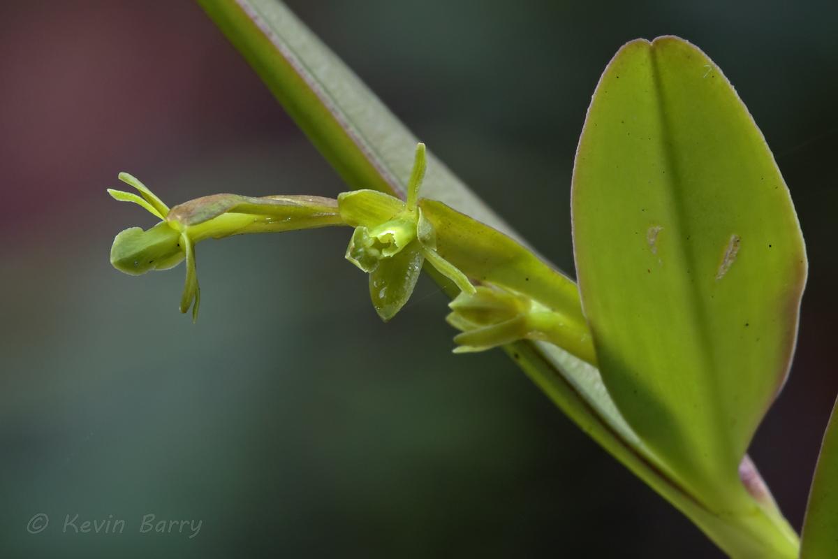 (Epidendrum rigidum) State-listed Endangered Species