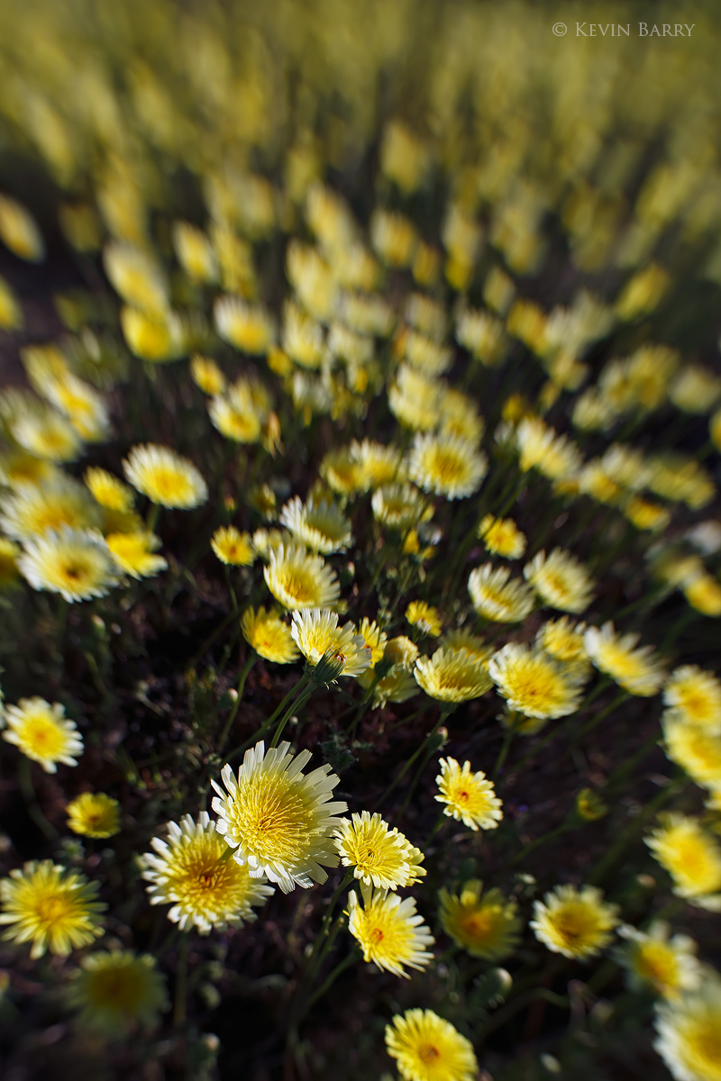 Desert Dandelions, Joshua Tree National Park, California, photo