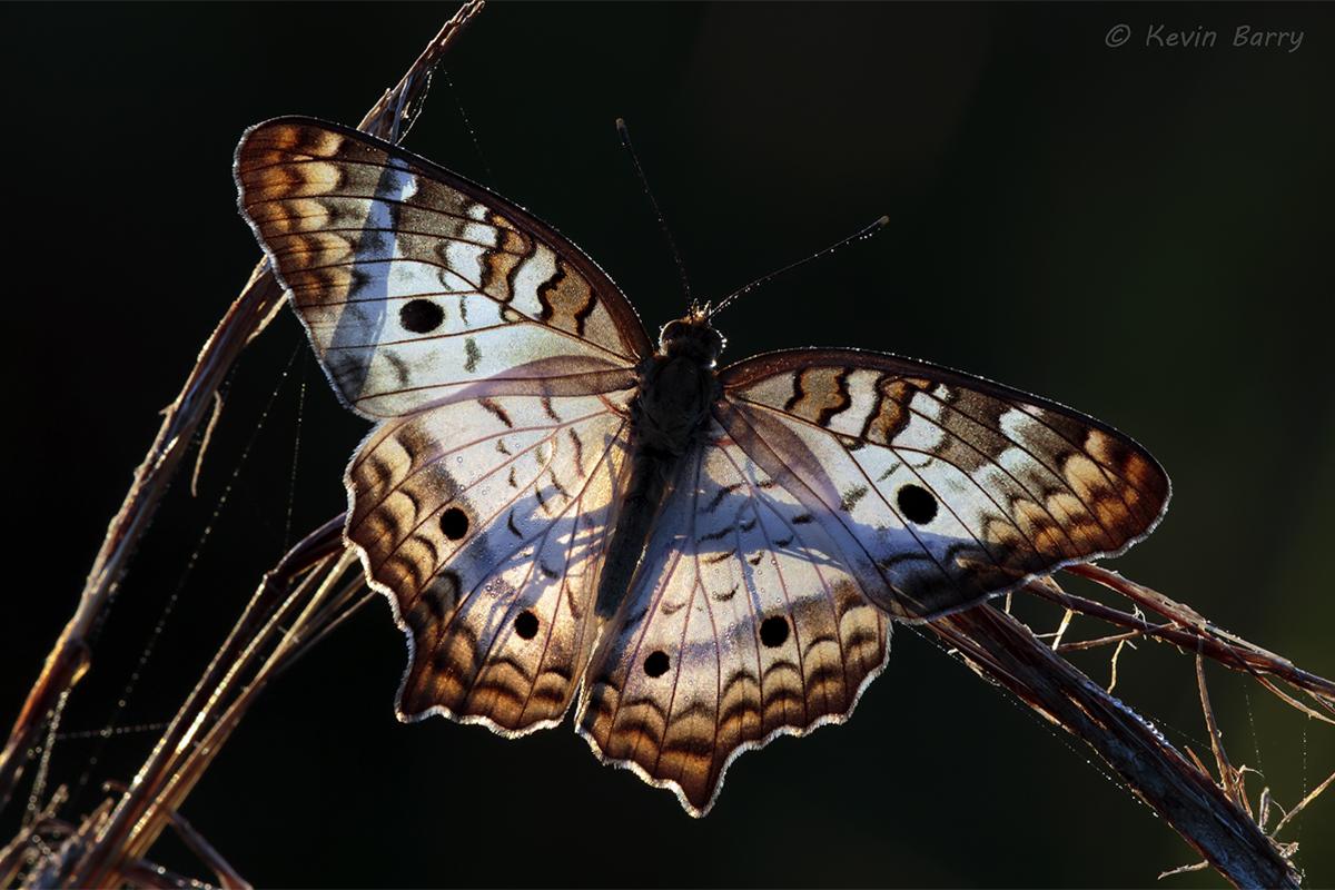 (Anartia jatrophae)