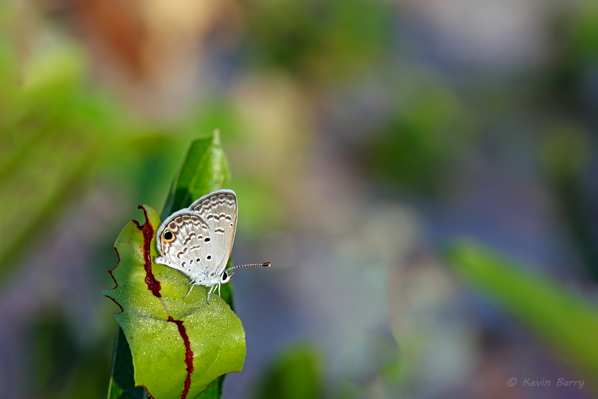 The Ceraunus Blue (Hemiargus ceraunus) butterfly is a widespread Neotropical butterfly common in southern portions of the United...