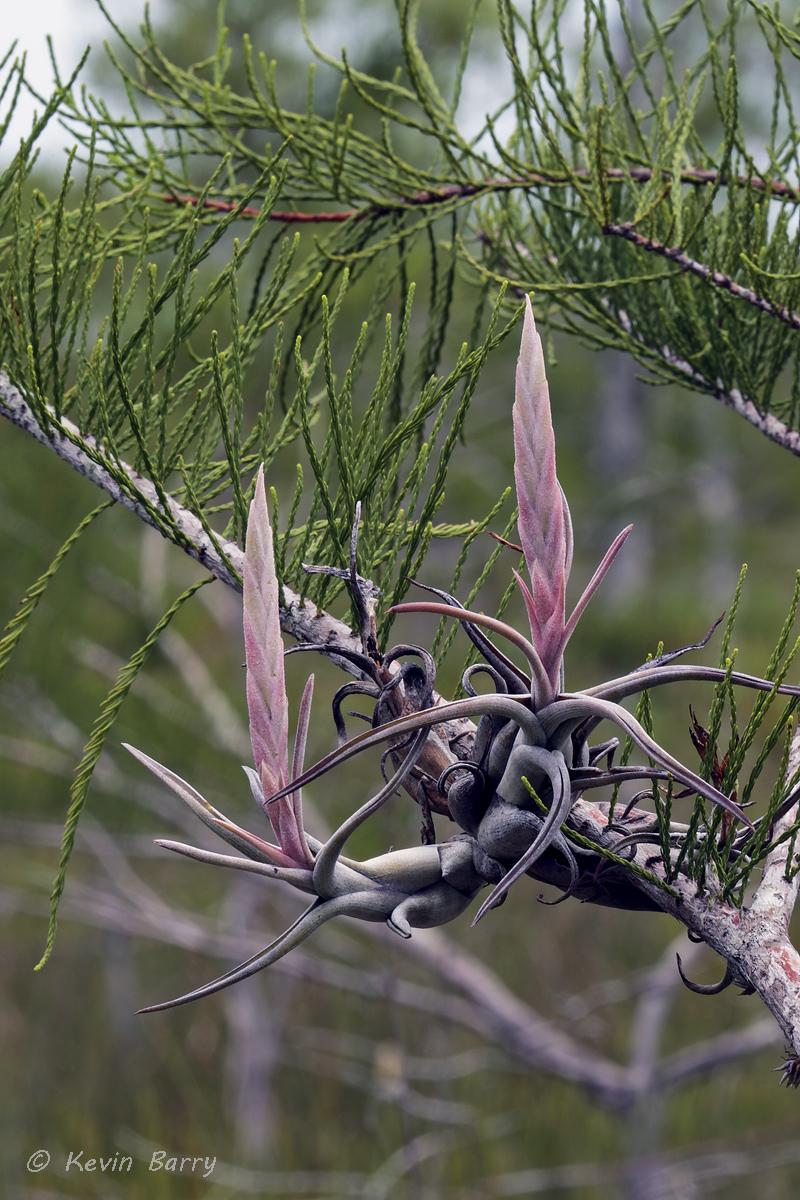 (Tillandsia paucifolia)