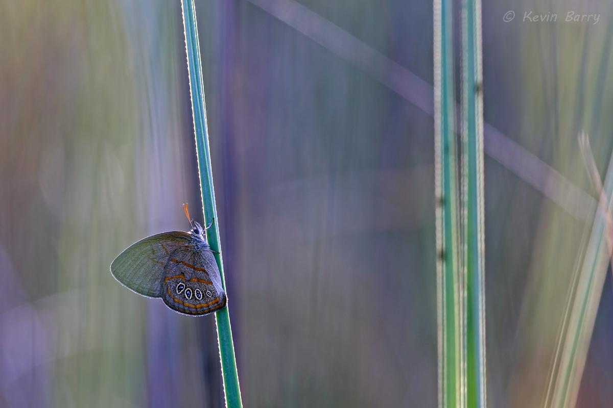 (Neonympha areolata)