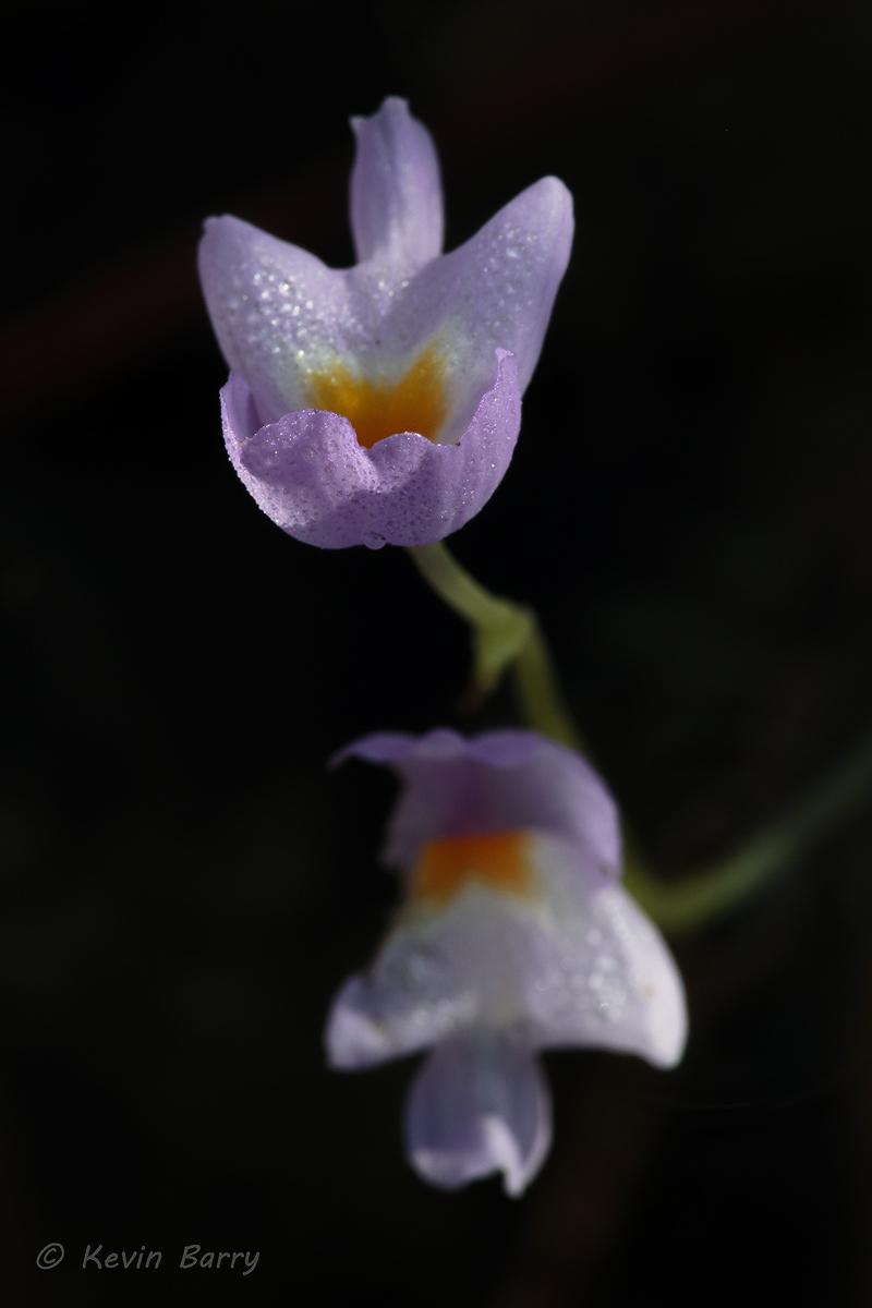 (Utricularia purpurea)