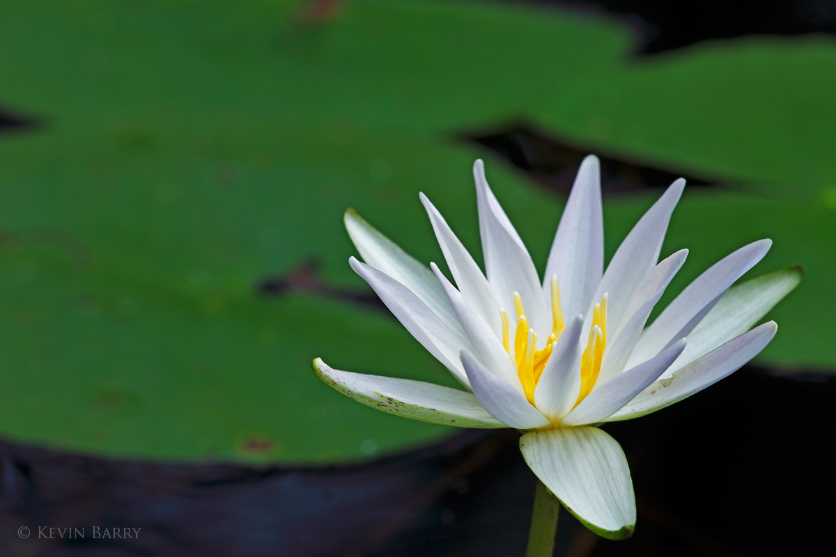 White Water Lily, Fakahatchee Strand Preserve State Park, Florida, photo