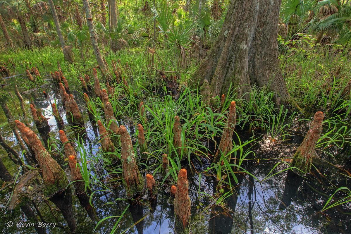 Bald Cypress knees, Silver Springs State Park, Florida, Taxodium distichum