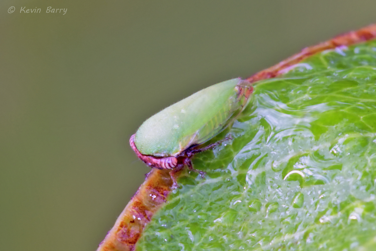 (Idioderma virescens)