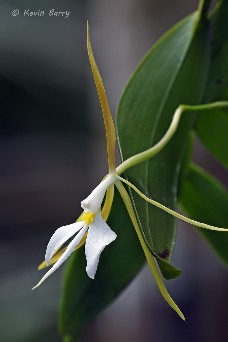 Night-scented Orchid, Fakahatchee Strand Preserve State Park, Florida, photo