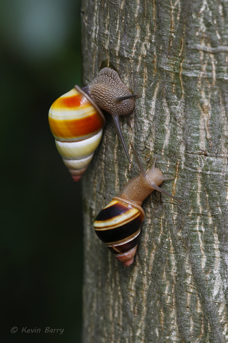 I was lucky to come across two Florida Tree Snails(Liguus fasciatus) in atropical hardwood hammock on Key Largo.