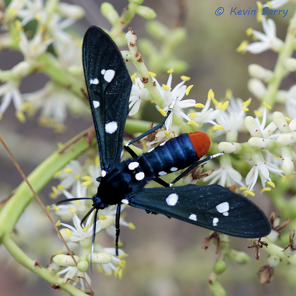 Polka-Dot Wasp Moth, Everglades National Park, Florida, Syntomeida epilais, photo