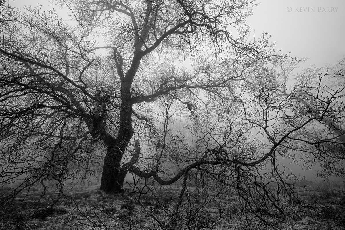 Oak in fog, Cleveland National Forest, California, photo