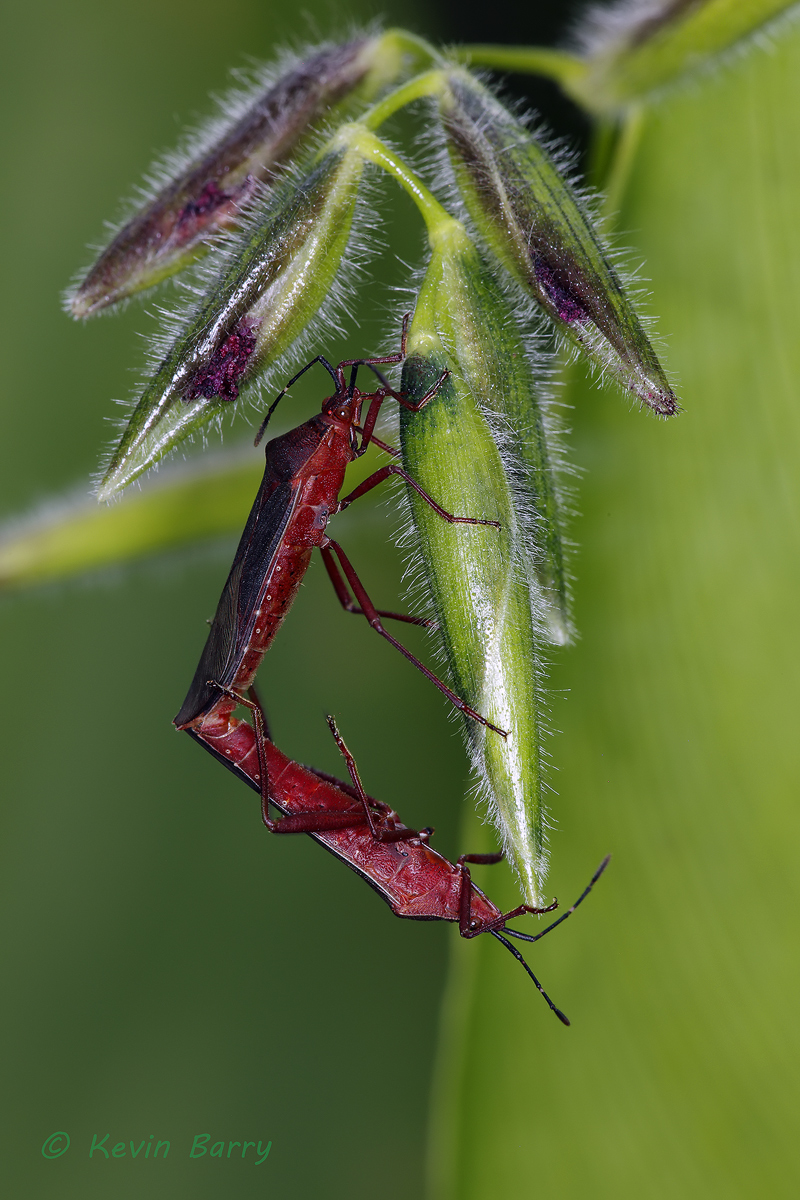 Leaf-footed Bugs on Fire Flag, Highlands Hammock State Park, Sebring, Florida, Namacus annulicornis, Thalia geniculata, photo
