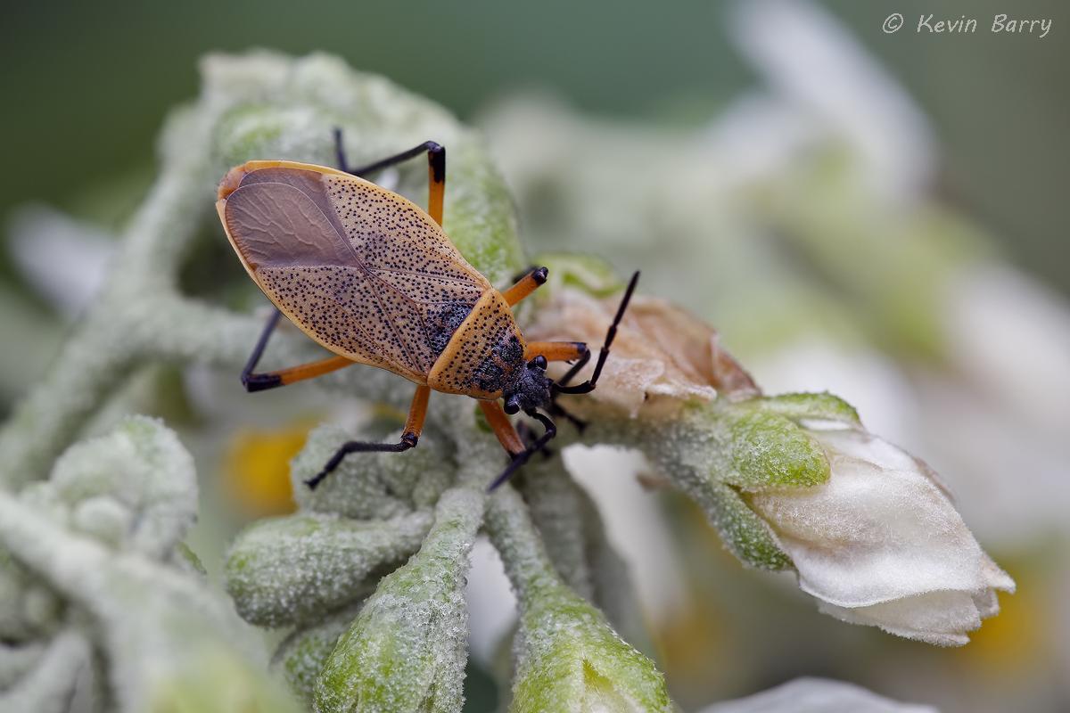 (Largus davisi) (Solanum erianthum)