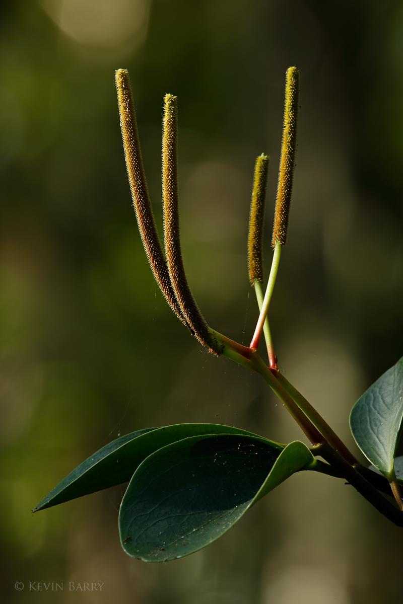 Florida Peperomia, obtusifolia, Fakahatchee Strand Preserve State Park, Florida, photo