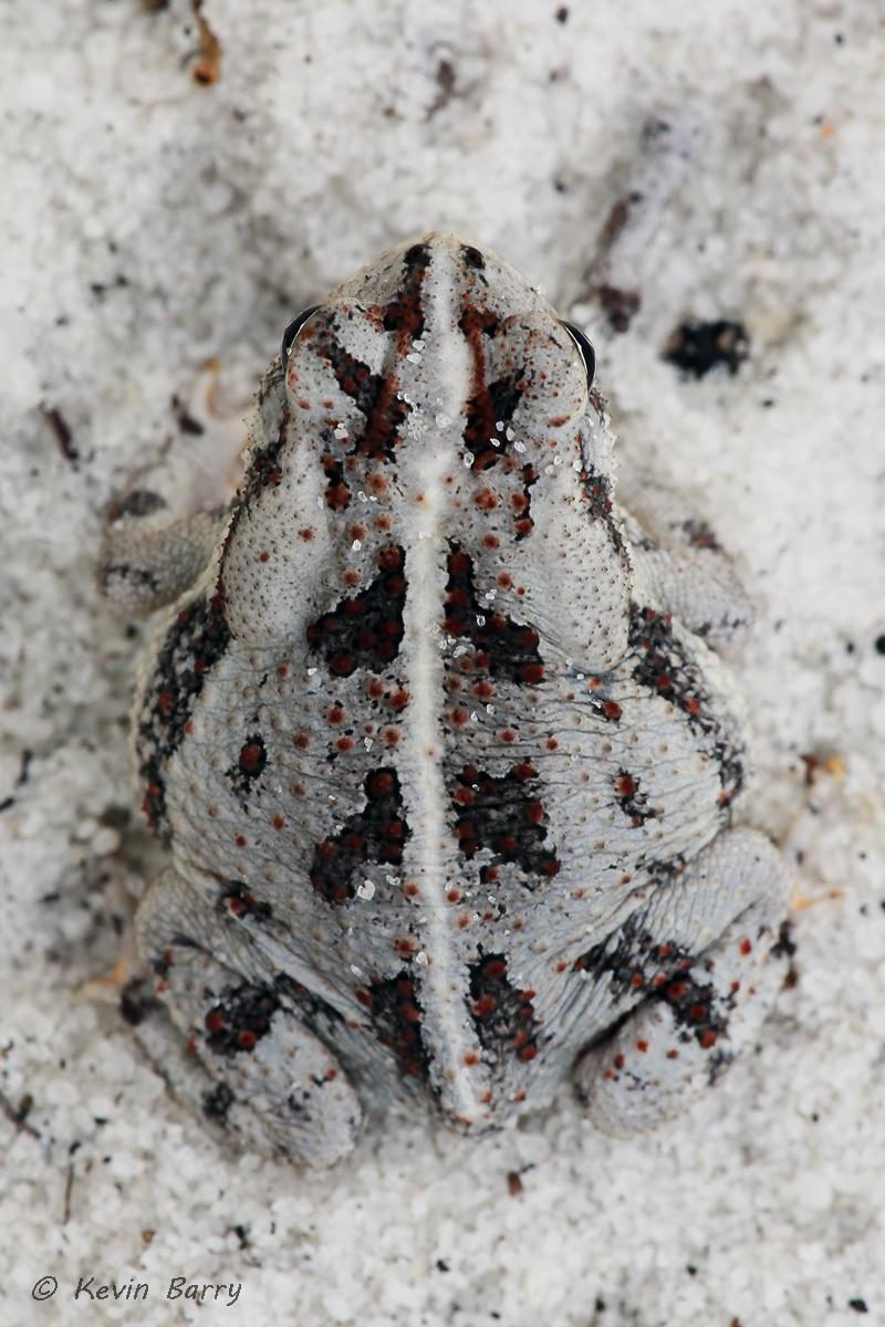 (Anaxyrus quercicus)