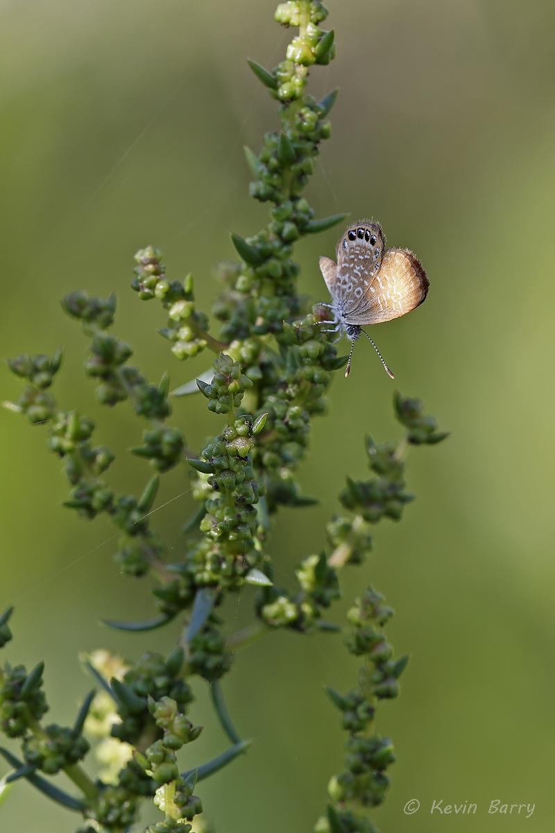 (Brephidium pseudofea)