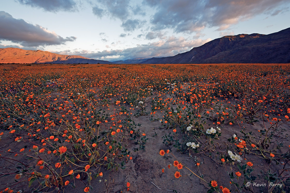 Spring of 2017 turned out to be a superbloom for wildflowers in the desert regions of California.