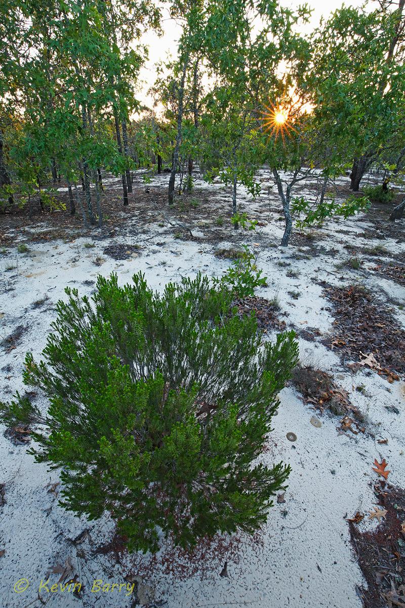 (Quercus laevis)