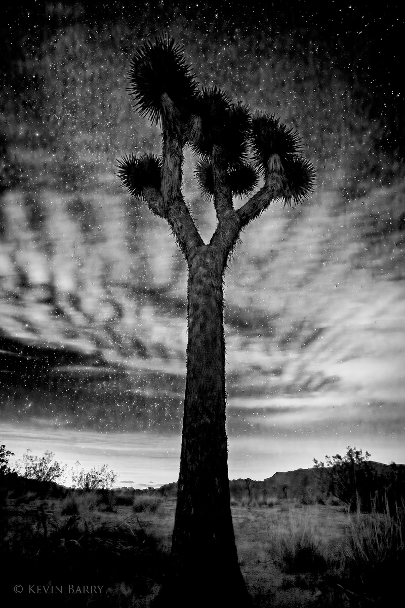 Away from city lights, numerous stars are visible above a Joshua Tree (Yucca brevifolia) in the California desert.