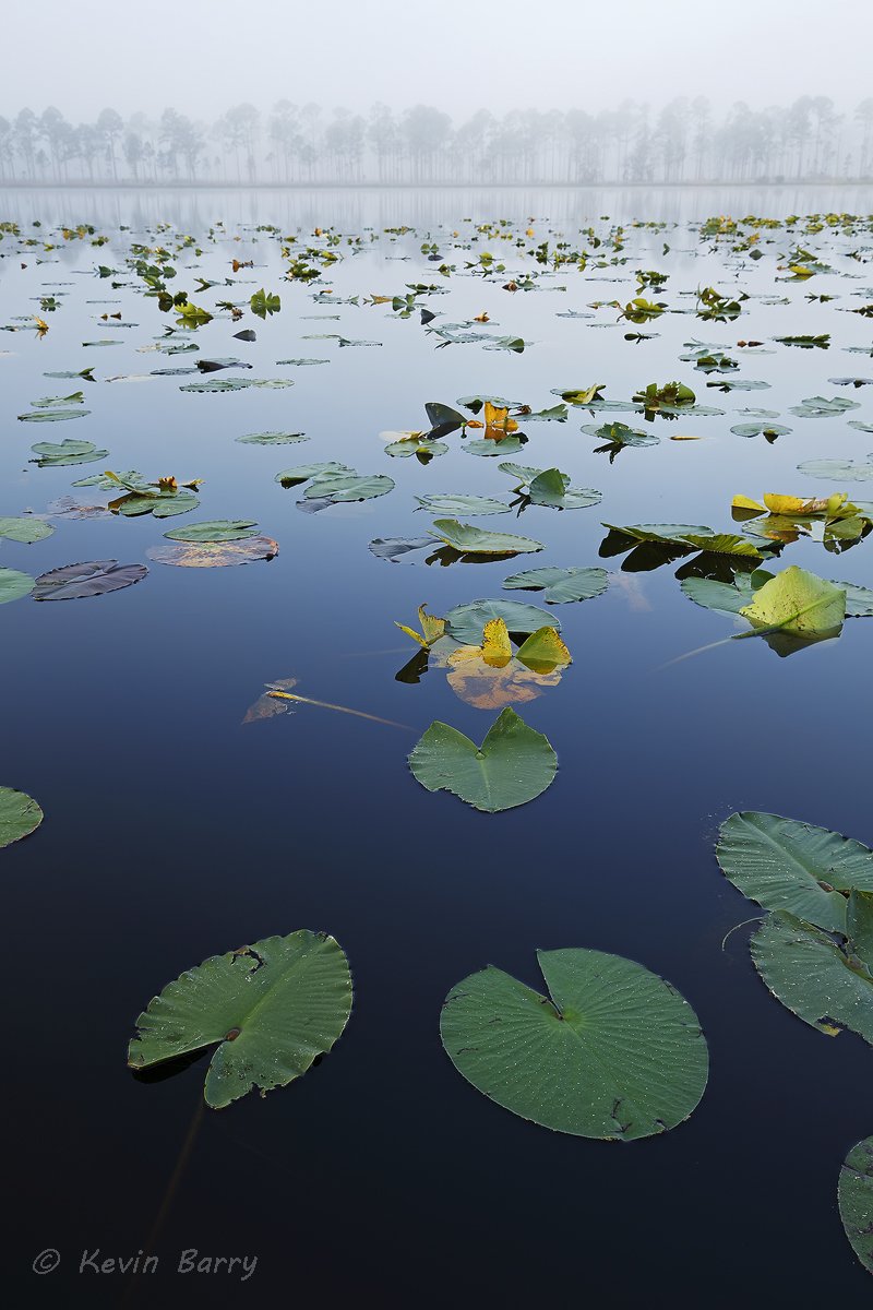 Central Florida lake on a foggy morning, Polk County, vertical, nature photography, natural, morning, fog, foggy, lily pads...