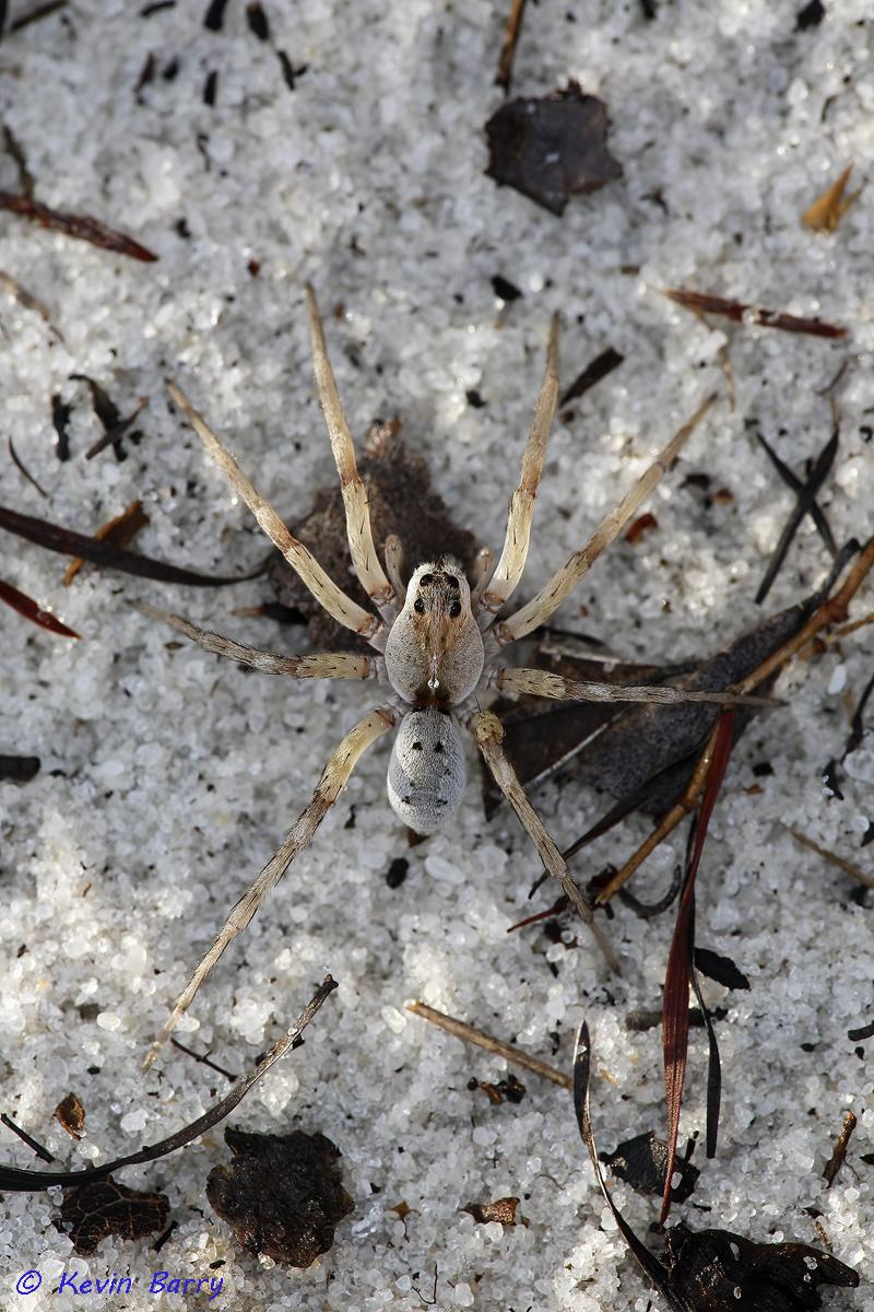 (Lycosidae)