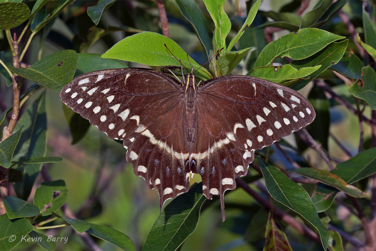 (Papilio palamedes)