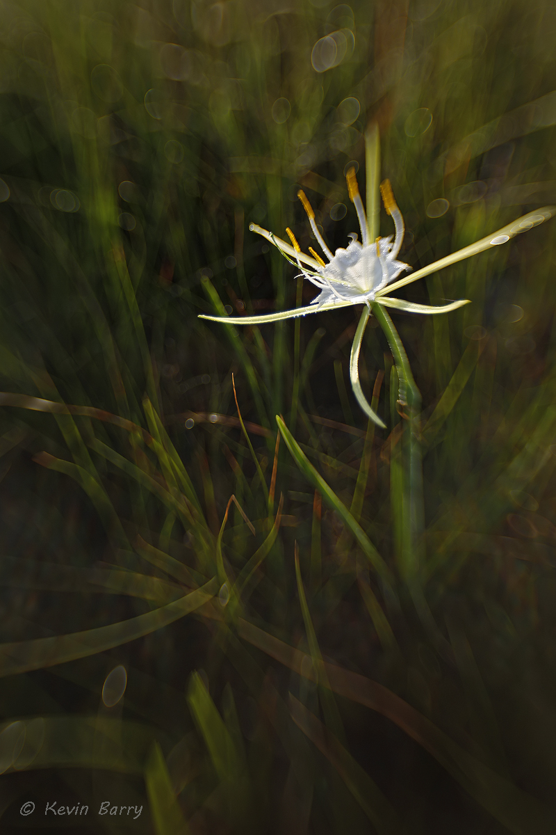 Alligator Lily, Big Cypress National Preserve, Florida, vertical, abstract, morning, day, exterior, green, wildflower, south...