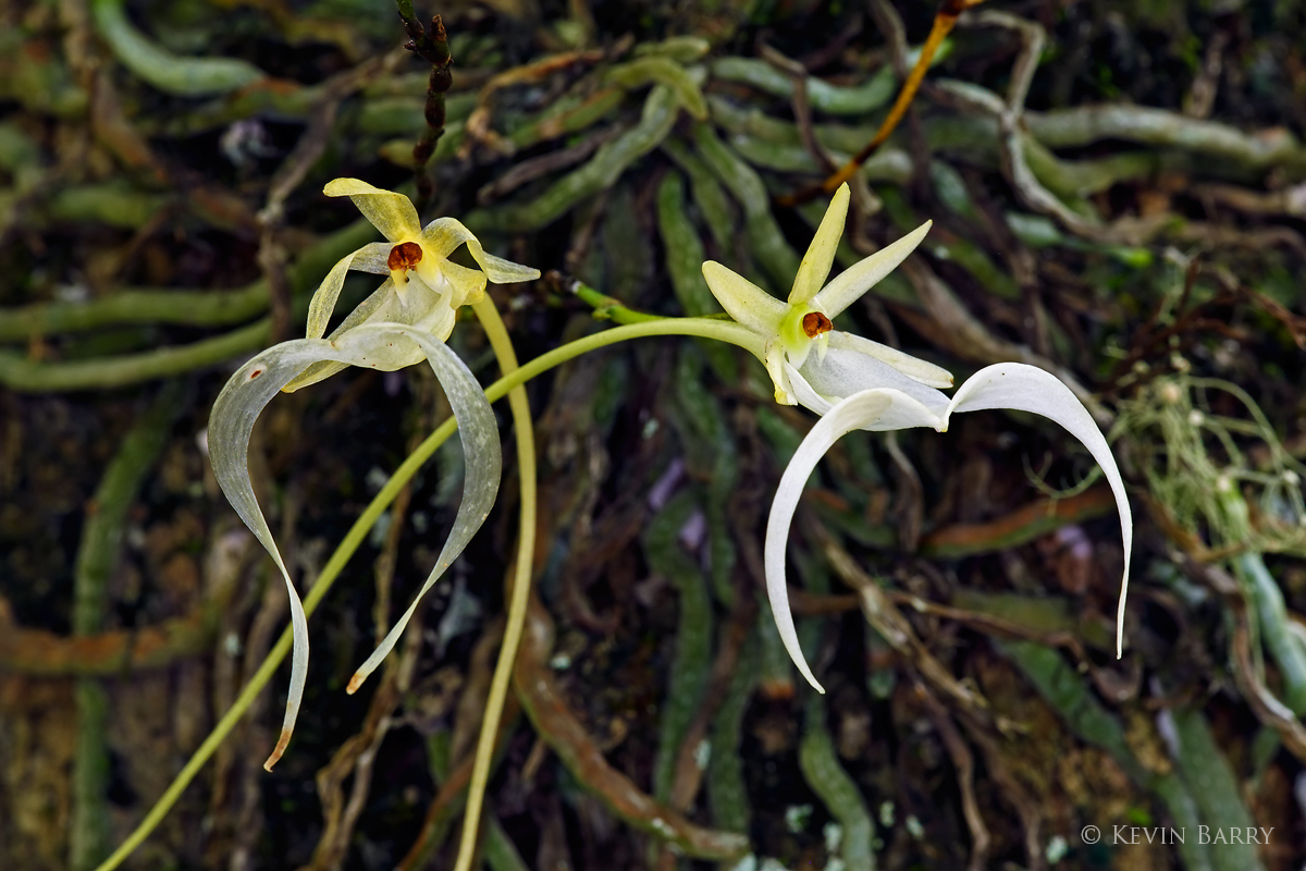 Ghost Orchids, Fakahatchee Strand Preserve State Park, Florida, photo