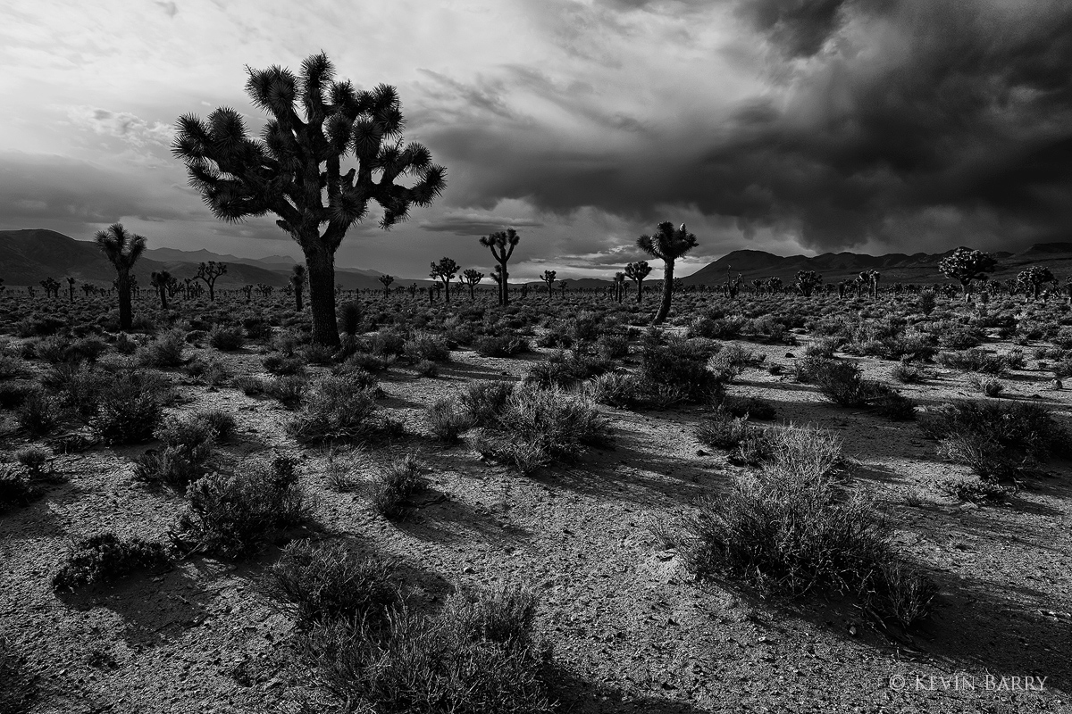 Joshua Trees and approaching storm, Death Valley National Park, California, photo