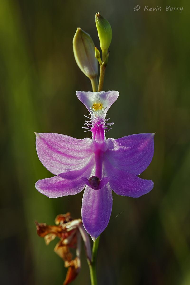 (Calopogon tuberosus var. simpsonii)