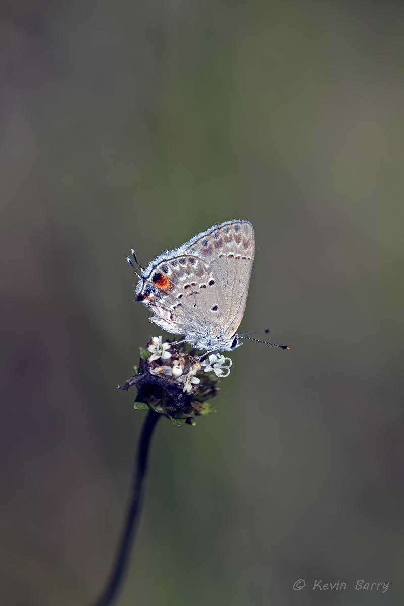 (Strymon istapa) (Melanthera nivea)